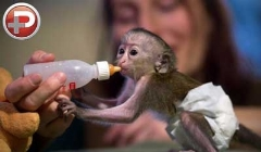 این میمون خانم، 30 میلیون طرفدار سینه چاک دارد!
