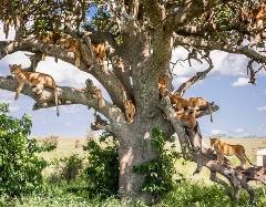 15 شیر بالای یک درخت!