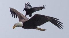 تصاویری از عقاب سواری کلاغ