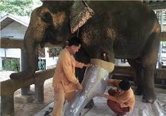 ساخت پای مصنوعی برای فیل معلول /عکس