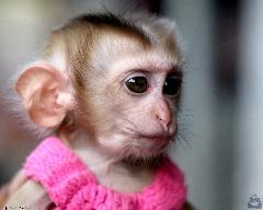 میمونی که آرایش میکند  حتما ببینید