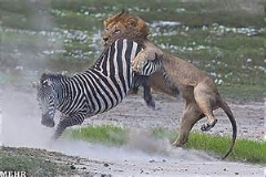ناکامی سلطان جنگل(شیر) از شکار یک گورخر شجاع