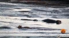 شکار بی رحمانه آهو توسط اسب آبی