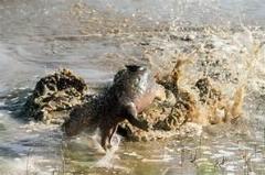 خورده شدن اسب آبی غول پیکر توسط تمساح ها