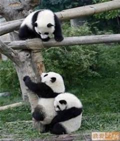 بالا رفتن پاندای چاق از دیوار به کمک مراقب باغ وحش