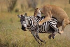 کلیپی از شکار و نبرد حیوانات وحشی