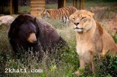 خرس قویتر و قدرتمند تر از ببر سیبری/دیسکاوری