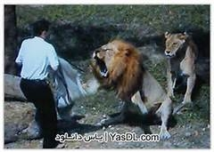 حمله آدم ها به شیر نر وحشی / شیره پا به فرار گذاشت