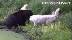 کلیپی از نبرد خرس با 3 گرگ سفید
