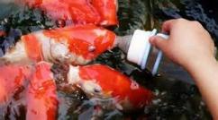 ماهی هایی که بوسیله شیشه شیر تغذیه می شوند/جالبه