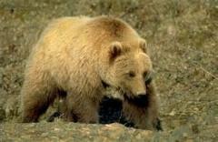 شکار گوزن نگون بخت توسط خرس بزرگ