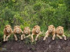 کلیپی از یک شکار موفق از شیرها با جزئیات کامل