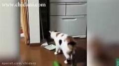 گربه ها از خیار می ترسند/خیلی جالبه