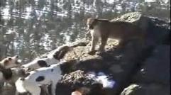 هیجان انگیز ترین ویدئو نبرد سگها با گربه سانان بزرگ