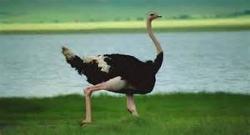 شکار سهمگین شتر مرغ توسط یوزپلنگ ها/بسیار دیدنی