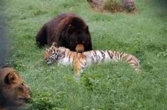 نبرد بسیار جذاب خرس و گربه سان/قدرت یک خرس