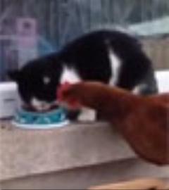 مرغ قلدر غذای گربه را از چنگش درآورد/کلیپ جالب
