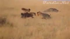 نبرد سهمگین و گروهی کفتارها با شیرها و فرار کردن شیرها