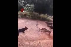 نبرد جالب و نادر 5 سگ با یک مار افعی عظیم/بسیار دیدنی