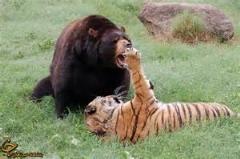 کل کل خرس گریزلی با پلنگ /دیدنی