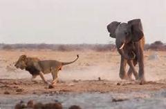 عقب نشینی شیرها در مقابل فیل ها/دیدنی