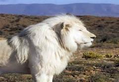 شکار گوزن یالدار توسط شیر های سفید