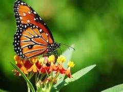کلیپی از پروانه های شگفت انگیز / بسیار دیدنی