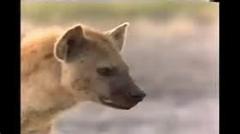 حمله هولناک یک گله کفتار به شیر ماده