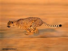 چیتای غول پیکر آفریقایی در نبرد با گاو وحشی آفریقایی