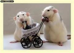 تلاش جالب موش برای انتقال جنازه دوست خود/دیدنی