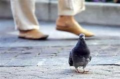 دام کبوتر/ببینید این 2 آقا چطوری این همه کبوتر را به دام میندازن