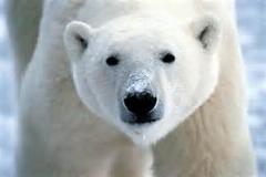 تبلیغ سریال با خرس قطبی /جالب