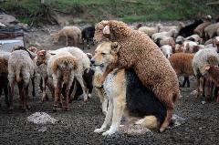 اعمال طرح زوج و فرد برای سگ و گوسفند! چگونه یک خبر شوکه کننده را به خانواده دوغ بدهیم؟! پرده برداری از ورژن هندی شیث رضایی؛ «آمپاس» تقدیم می کند