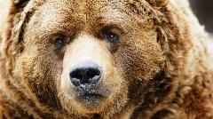 خرس کودیاک قدرتمند ترین درنده جهان/جنگنده کامل