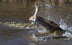 از چاله درآمد و به چاه افتاد/فرار از دست تمساح وگیر افتادن به چنگ سگ های وحشی