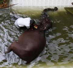فیلی که از حمام کردنش لذت می برد/حمام کردن فیل