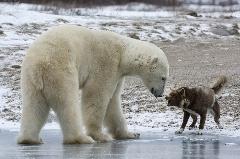 اجبار مردی به سگش برای  حمله به خرس قطبی