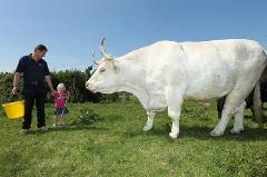 کلیپی عجیب از گاو 1500 کیلویی