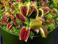 گیاه گوشتخوار به نام ونوس حشره خوار که می تواند تعداد دفعاتی را که توسط طعمه اش لمس می شود را بشمارد