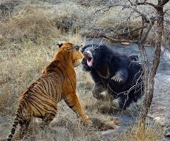 مبارزه یک خرس سیاه با جثه کوچک با دو ببر