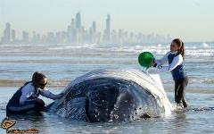 فیلمی دردناک از لحظه به گل نشستن یک نهنگ غول پیکر