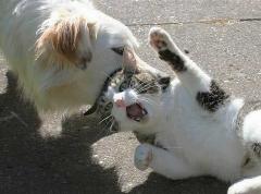 وقتی دو گربه با هم درگیر می شوند و سگها پا در میونی کرده  و آنها را از هم جدا می کنند