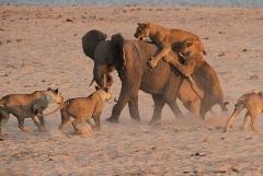 حمله 14 شیر به فیل جوان و پیروزی فیل!