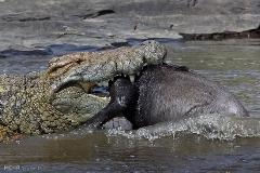 شکارهای  وحشتناک کروکدیل در حین رد شدن  حیوانات از آب