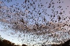 ثبت بزرگ ترین اجتماع خفاش ها توسط gopro