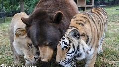 خرس سیاه/شیر آفریقایی و ببر بنگال 15 سال است که در کنار هم در پناهگاه حیوانات زندگی می کنند