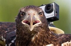بعد از دیدن این ویدیو متوجه میشوید دنیا از دید بزرگترین پرنده ی شکاری جهان چه شکلی هست!