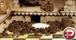 غیرقابل باورترین خدای روی زمین؛ پرستش کثیف ترین موجود دنیا در معبد هندی ها که توریست ها را شگفت زده کرده است