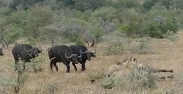 فرار معجزه آسای بوفالو خوش شانس از چنگال شیرهای درنده