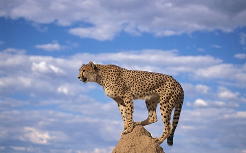 يوزپلنگ رکورد دار سرعت در حیاط وحش که سرعتش در 4ثانیه به102 کیلومتر در ساعت میرسد